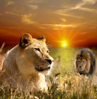 Lions In Kruger National Park - Obrázkek zdarma pro iPad Air
