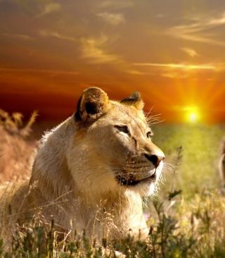Lions In Kruger National Park - Obrázkek zdarma pro 240x432