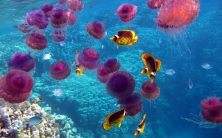 Pink Jellyfish And Yellow Fish Picture for Android, iPhone and iPad
