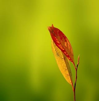 Leaf - Obrázkek zdarma pro iPad 2