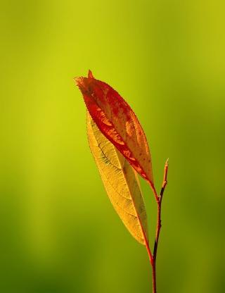Leaf - Obrázkek zdarma pro Nokia Asha 308