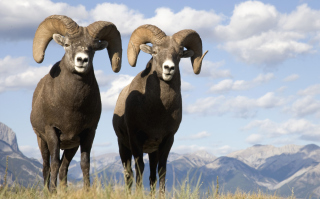 Mountain Bighorn Sheep Wallpaper for Android, iPhone and iPad