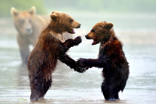 Free Bear cubs Picture for Android, iPhone and iPad