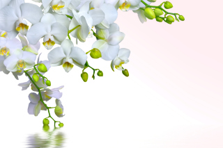 Tenderness White Orchid Background for Android, iPhone and iPad
