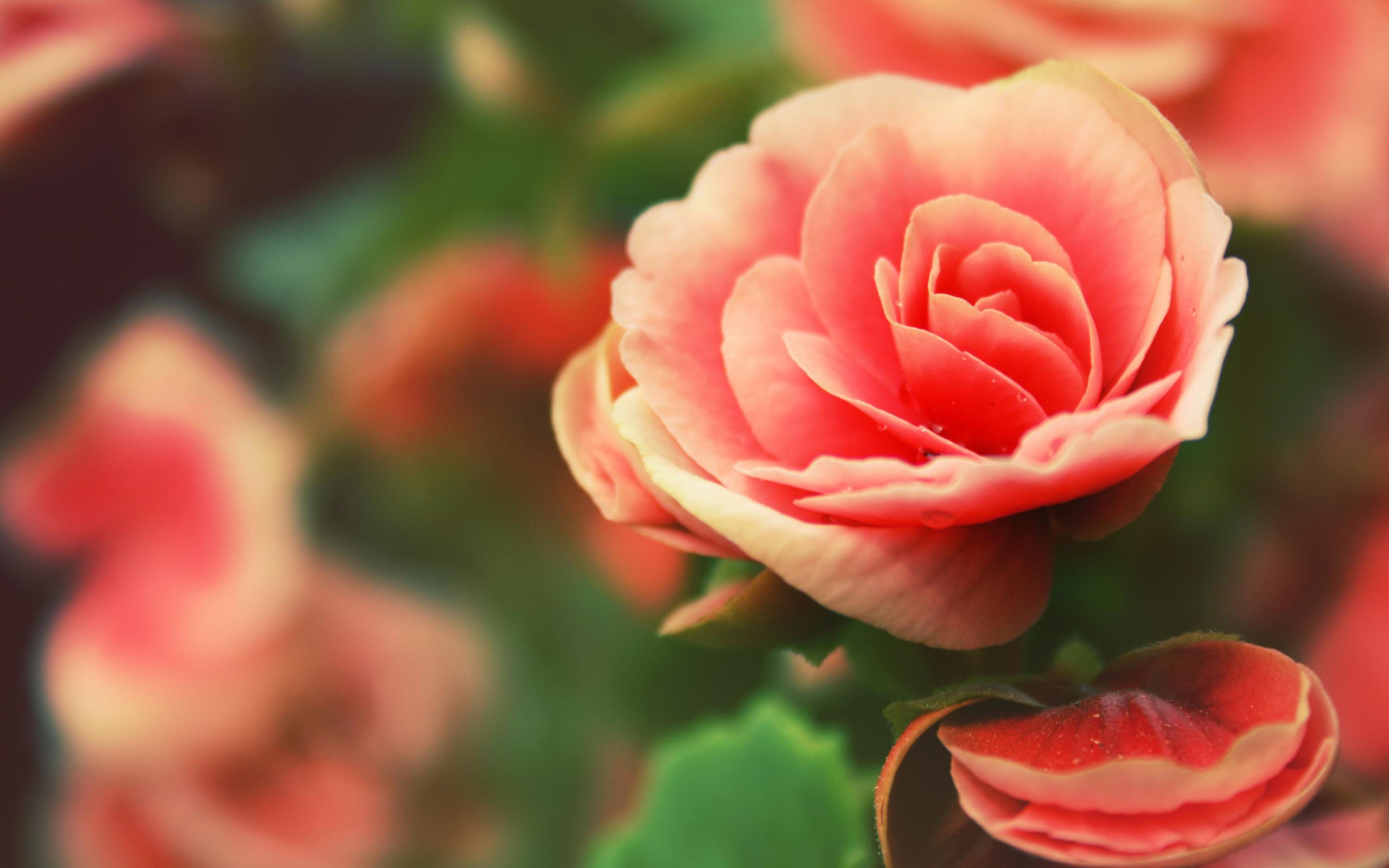 обои для рабочего стола розы красивые во весь экран № 233124 бесплатно