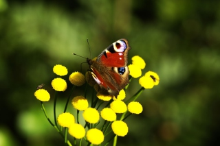 Yellow Flowers And Butterfly Picture for Android, iPhone and iPad