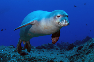 Free Hawaiian Monk Seal Picture for Android, iPhone and iPad