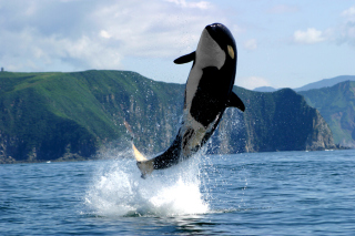 Orca in the Atlantic Ocean Wallpaper for Android, iPhone and iPad
