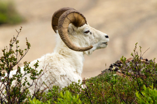 Mouflon Wild Goat Picture for Android, iPhone and iPad