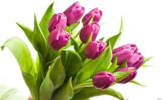 Purple Tulips Background for Android, iPhone and iPad