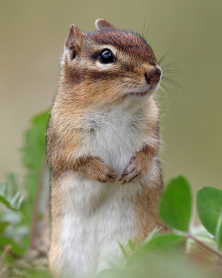 Squirrel HD - Obrázkek zdarma pro Nokia Asha 202
