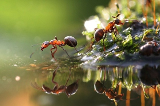 Ant Background for Android, iPhone and iPad