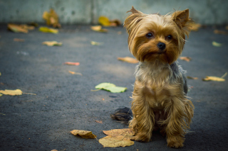 Cute Yorkshire Terrier - Obrázkek zdarma pro Motorola DROID 3