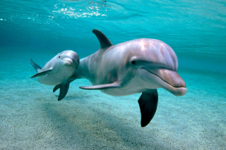 Free Dolphins family Picture for Android, iPhone and iPad