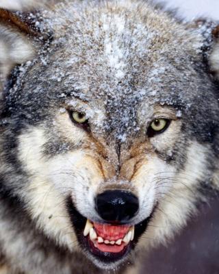 Wolf - Obrázkek zdarma pro 768x1280