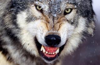 Wolf - Obrázkek zdarma pro Fullscreen Desktop 1280x960