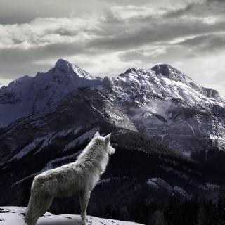 Wolf in Mountain - Obrázkek zdarma pro 208x208