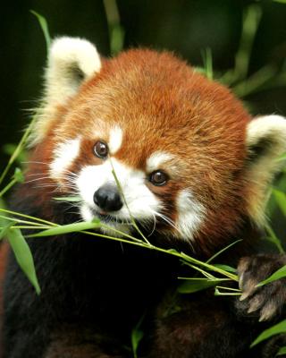 Bamboo Feast Red Panda - Obrázkek zdarma pro Nokia Lumia 810