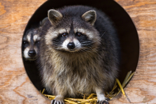 Funny Raccoon Background for Android, iPhone and iPad