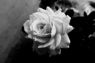 Cute Rose Wallpaper for Android, iPhone and iPad