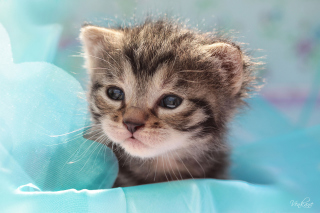 Grey Baby Kitten Background for Android, iPhone and iPad