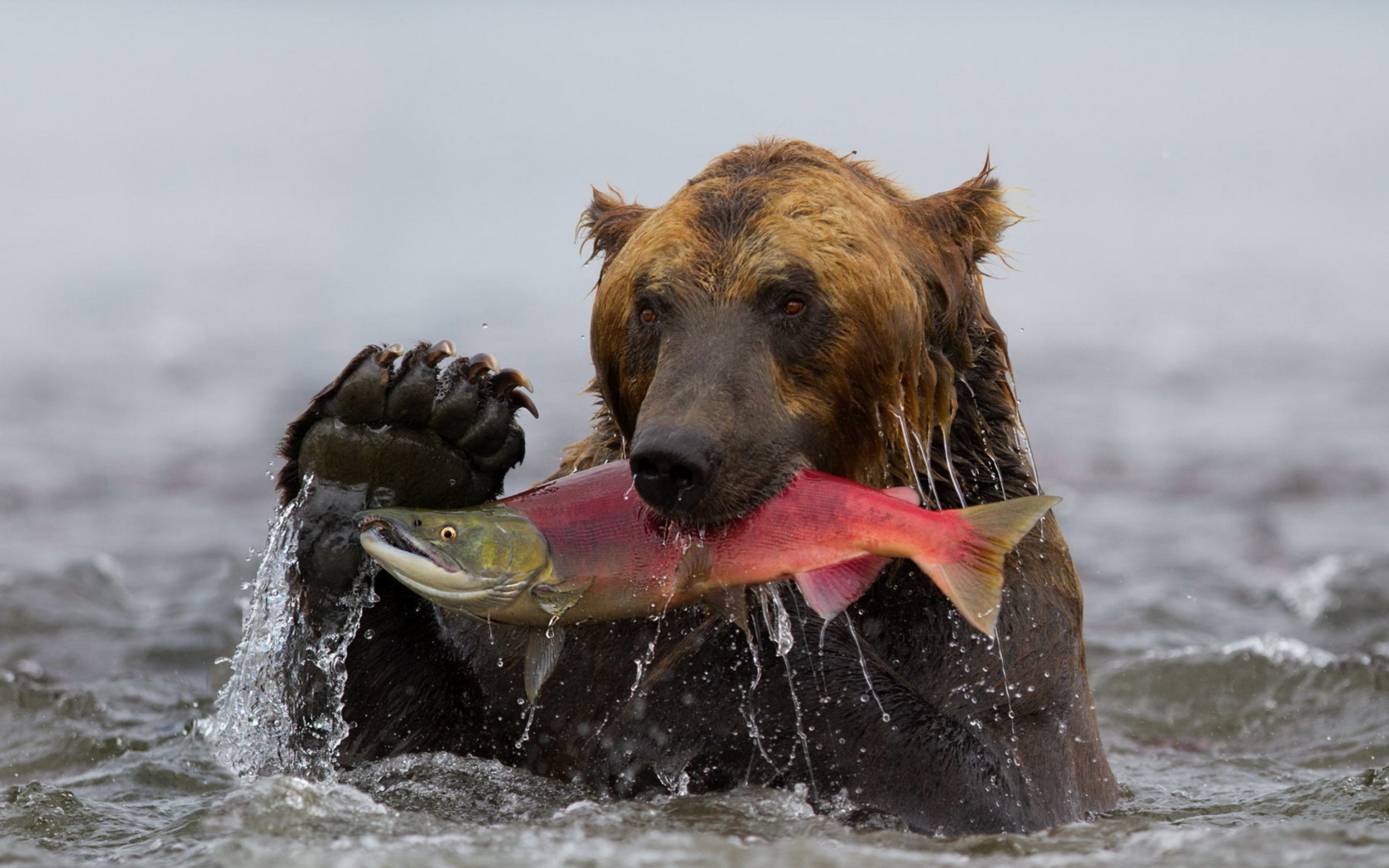Pictures of bears fishing