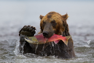 Grizzly Bear Catching Fish Picture for Android, iPhone and iPad
