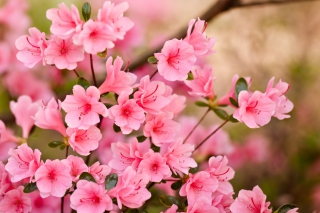 Pink Spring Blossom Background for Android, iPhone and iPad