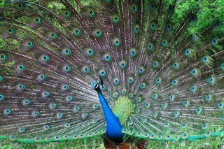 Indian Peafowl Background for Android, iPhone and iPad