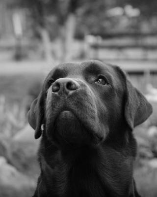 Labrador Retriever - Obrázkek zdarma pro 640x960