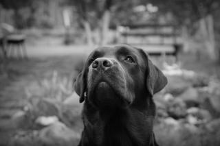 Labrador Retriever - Obrázkek zdarma pro Samsung Galaxy A5