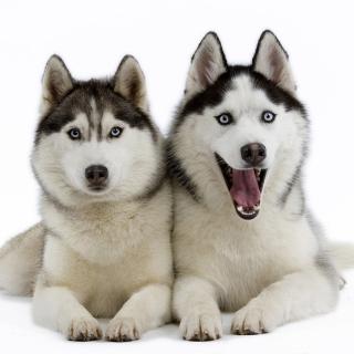 Siberian Huskies - Obrázkek zdarma pro 208x208