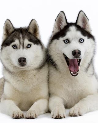 Siberian Huskies - Obrázkek zdarma pro 240x320