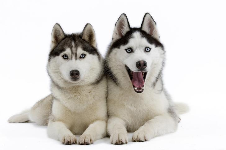 Siberian Huskies wallpaper