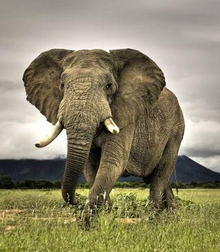 Great Elephant - Obrázkek zdarma pro Nokia C1-01