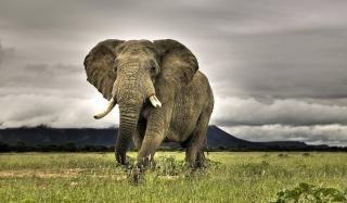 Great Elephant - Obrázkek zdarma pro Samsung Galaxy S4