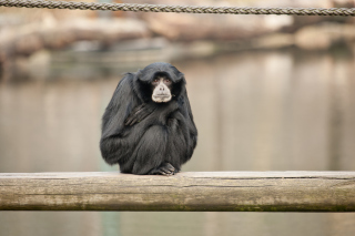 Siamang Background for Android, iPhone and iPad