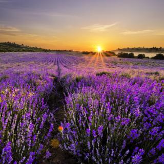 Sunrise on lavender field in Bulgaria - Obrázkek zdarma pro 320x320