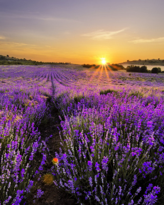 Sunrise on lavender field in Bulgaria - Obrázkek zdarma pro iPhone 5
