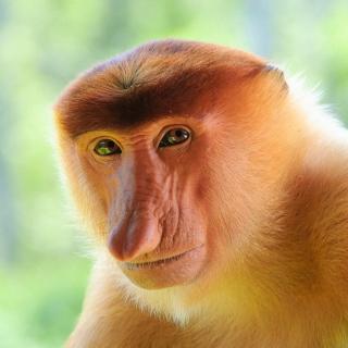 Long-Nosed Monkey - Obrázkek zdarma pro 208x208