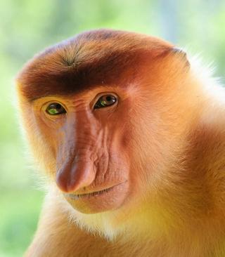 Long-Nosed Monkey - Obrázkek zdarma pro 480x640