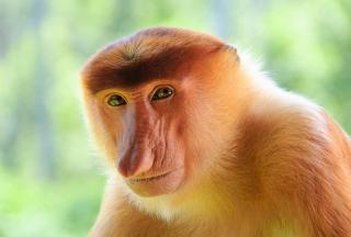 Long-Nosed Monkey - Obrázkek zdarma pro Samsung Galaxy Q