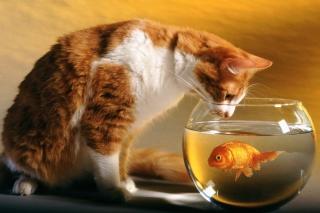 Cat Looking at Fish sfondi gratuiti per cellulari Android, iPhone, iPad e desktop