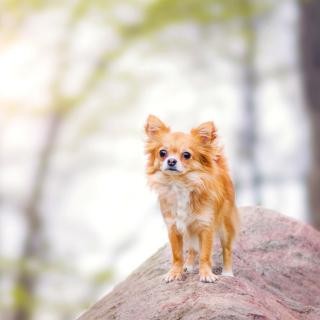 Pomeranian Puppy Spitz Dog - Obrázkek zdarma pro 2048x2048