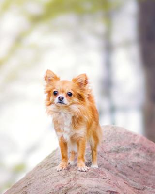 Pomeranian Puppy Spitz Dog - Obrázkek zdarma pro 240x320
