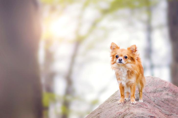 Pomeranian Puppy Spitz Dog wallpaper