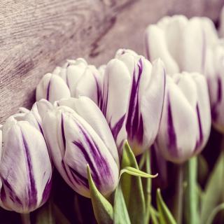 Purple Tulips - Obrázkek zdarma pro iPad 3