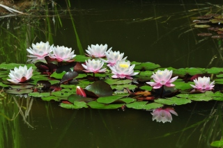 Pink Water Lilies - Obrázkek zdarma pro Samsung Galaxy S5