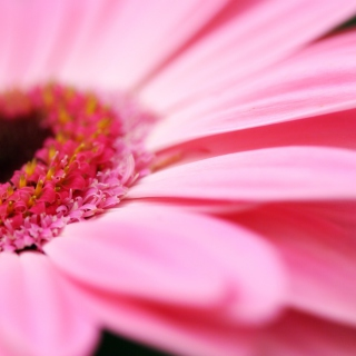 Pink Gerbera Close Up - Obrázkek zdarma pro 2048x2048
