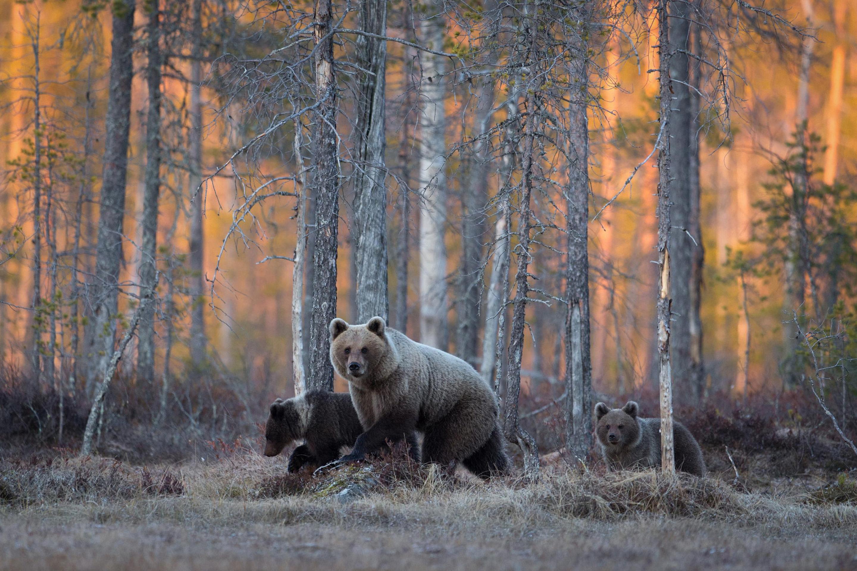 обои для рабочего стола россия медведь для рабочего стола № 206587 бесплатно